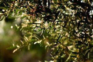 olijfolie bestellen
